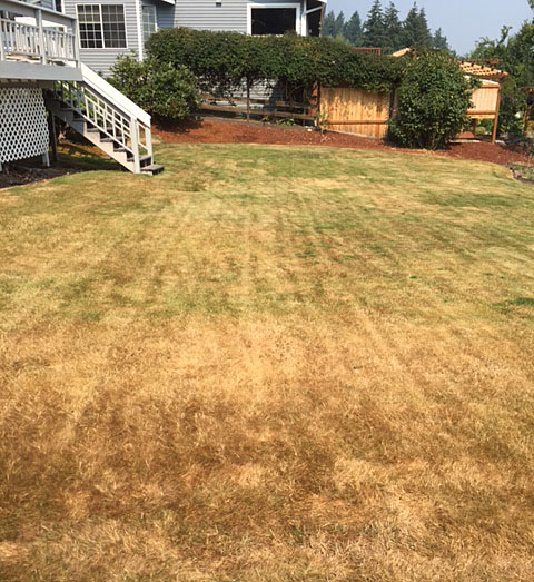 Backyard lawn brown and dormant from not watering in summer